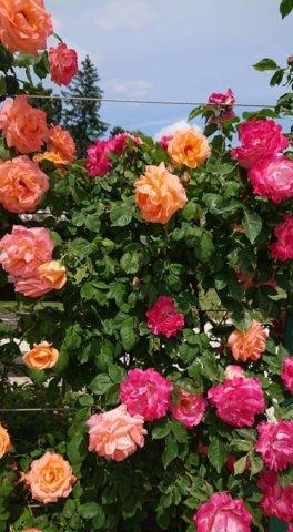100 éves rózsalugas a Fertődi Esterházy-kastélyban
